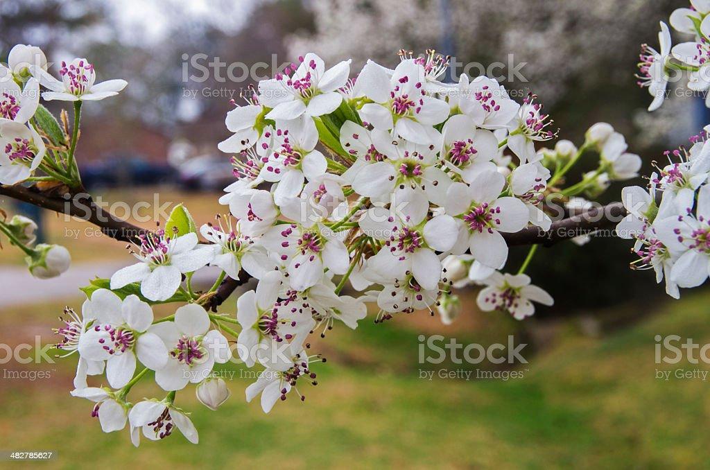 Bradford Pear Blossom Cluster stock photo