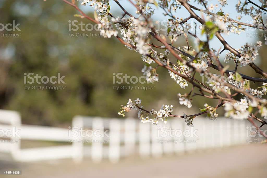 Bradford Pear Blossoms and White Fence stock photo