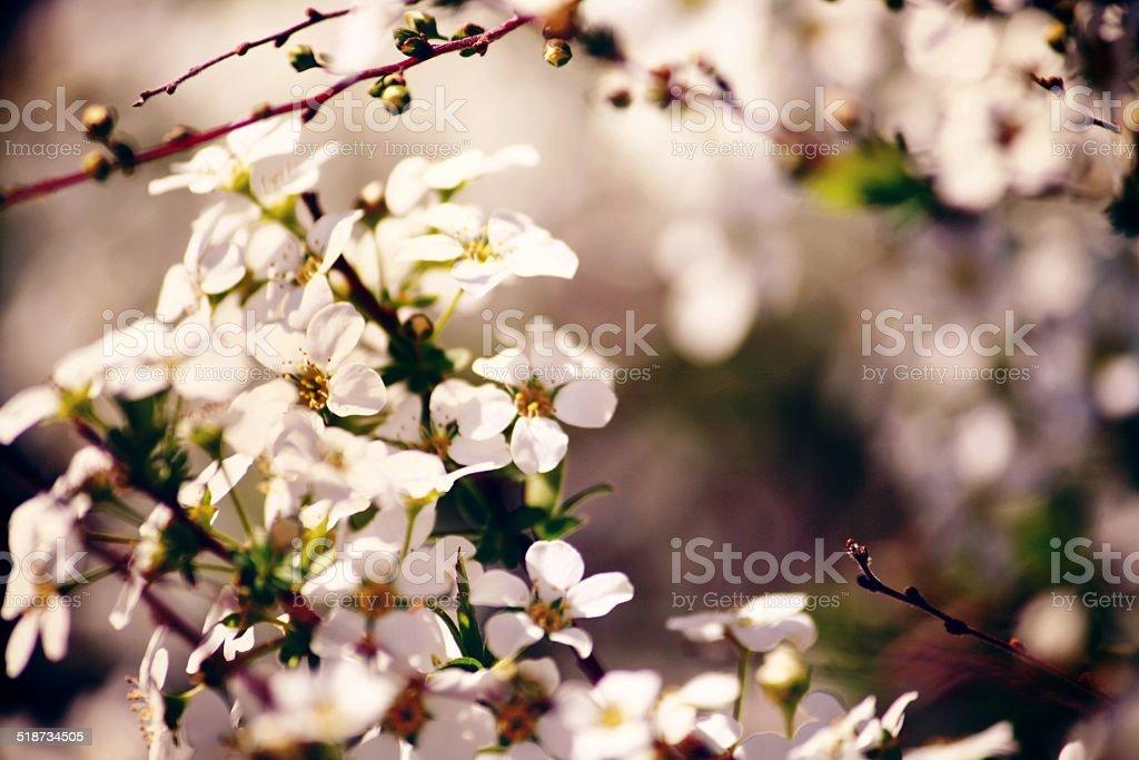 Bradford Pear Flowers stock photo