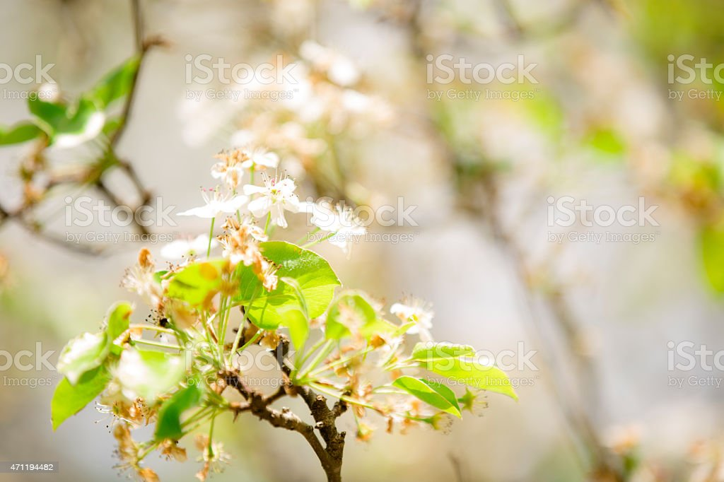 Bradford pear tree blooms in spring against blue sky. Texas. stock photo