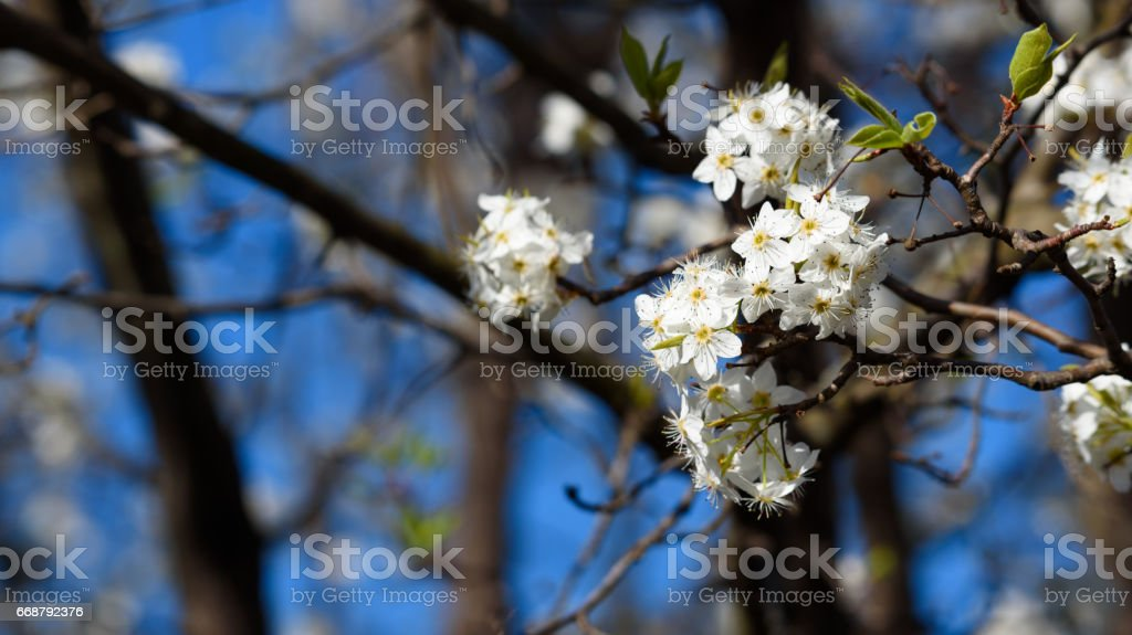 Bradford Pear Tree Blooms in Spring Close Up stock photo