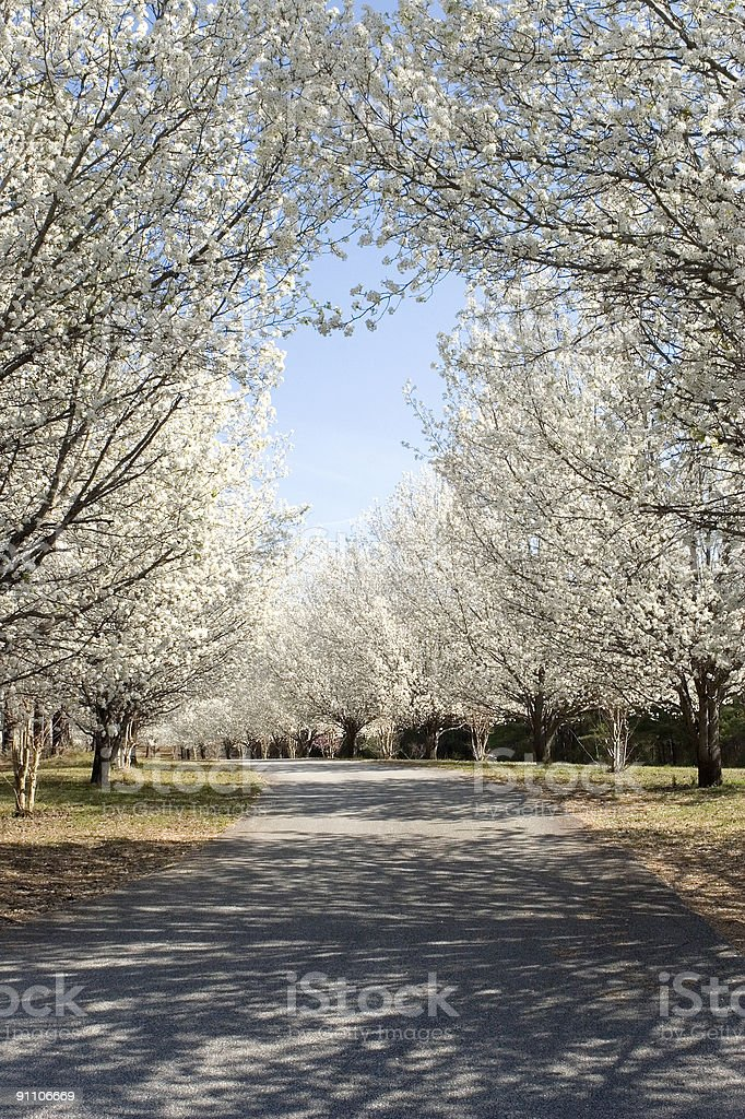 Bradford Pear Tree covered Road Portrait stock photo