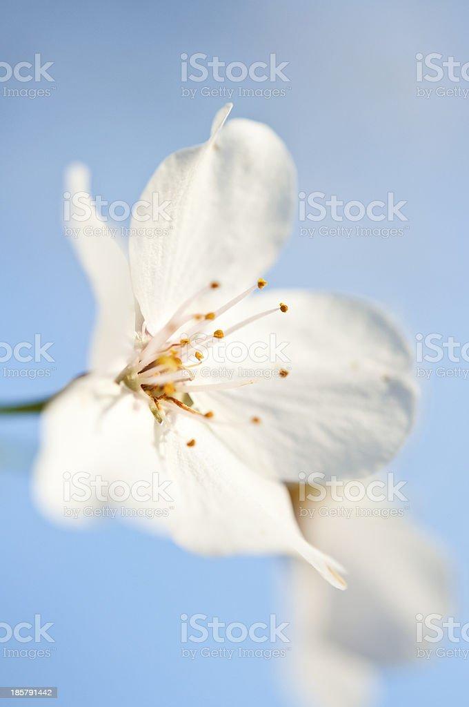 Bradford Pear Tree Flower royalty-free stock photo