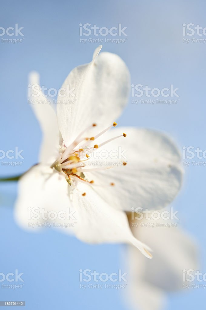 Bradford Pear Tree Flower stock photo