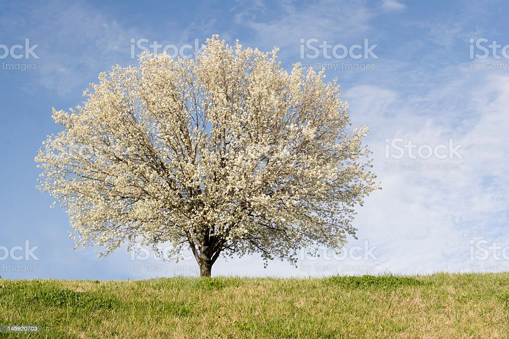 Bradford pear tree fully blooming with flowers stock photo