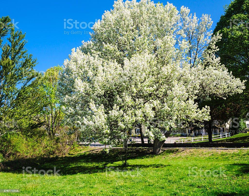 Bradford Pear Tree in Bloom stock photo