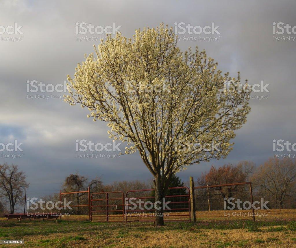 Bradford Pear Tree in spring bloom stock photo