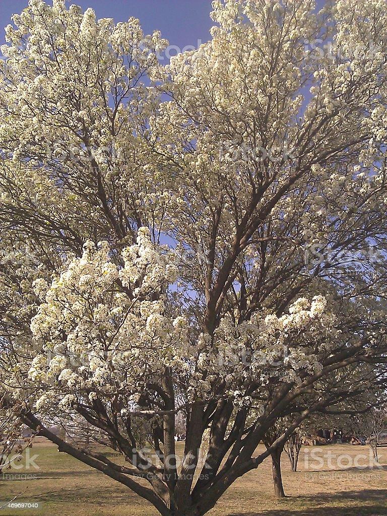 Bradford Pear Tree stock photo