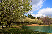 Bradford Pear Trees in full spring bloom around a small pond beside the driveway