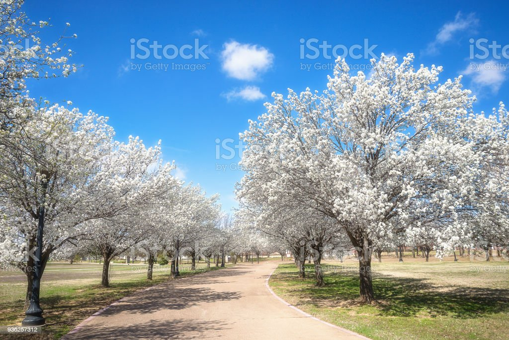 Bradford pear trees blooming in the Texas spring stock photo