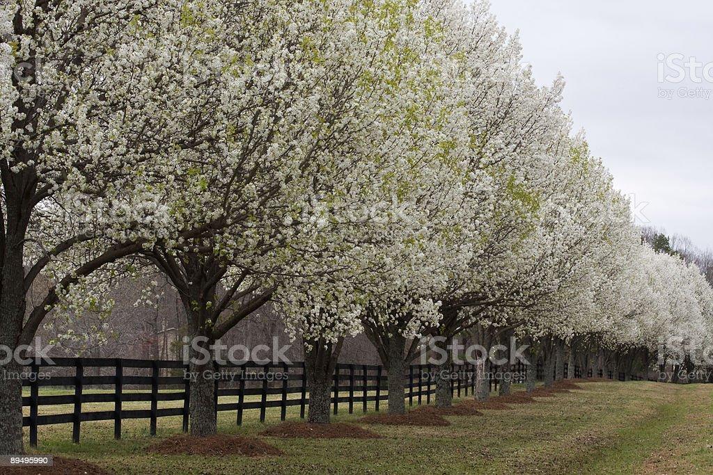 Bradford Pear Trees in Bloom stock photo