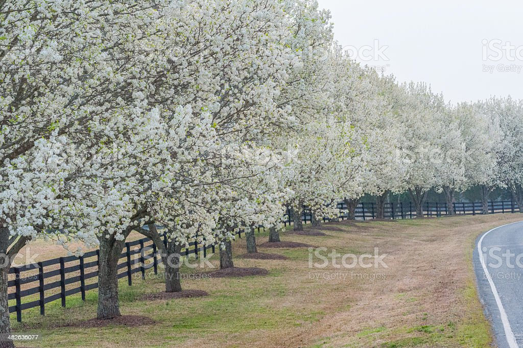 Bradford Pear Trees on a Peaceful Morning stock photo