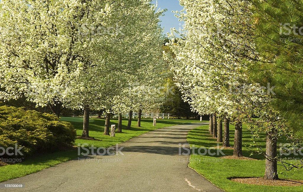 Bradford Pear Trees stock photo