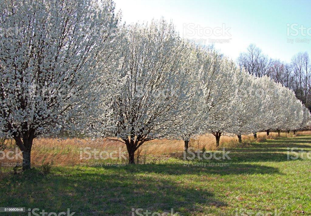 Bradford Pears Trees stock photo