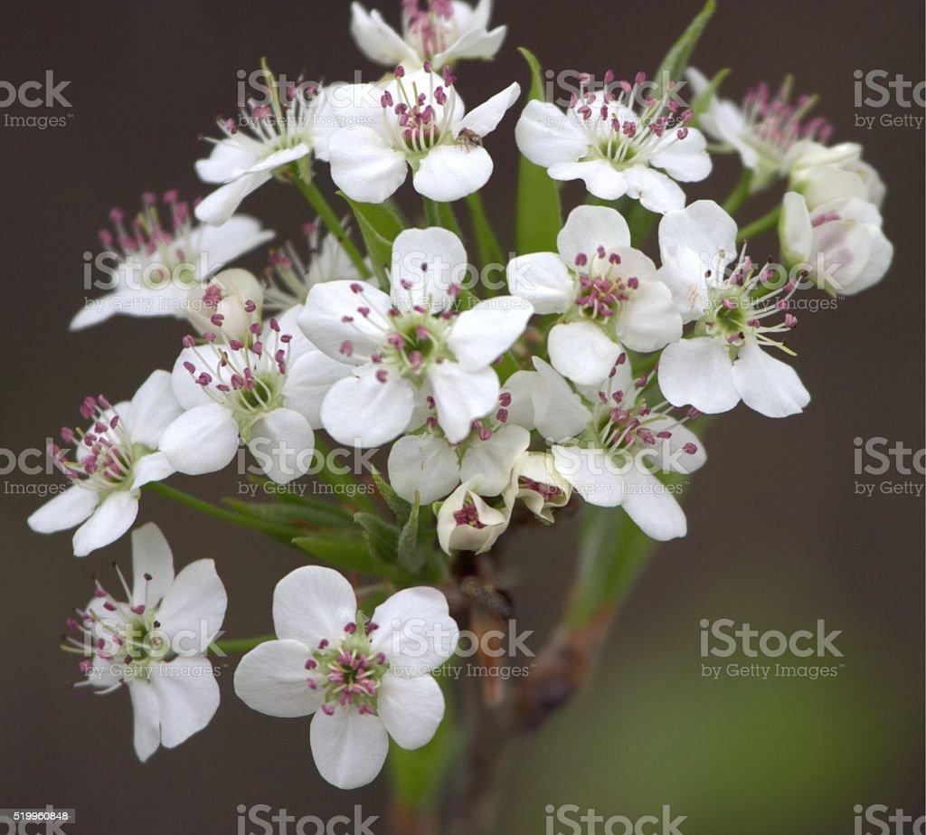 Bradford Rear Tree Blossoms stock photo
