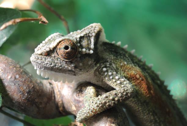 bradypodion thamnobates - animaux familiers exotiques photos et images de collection