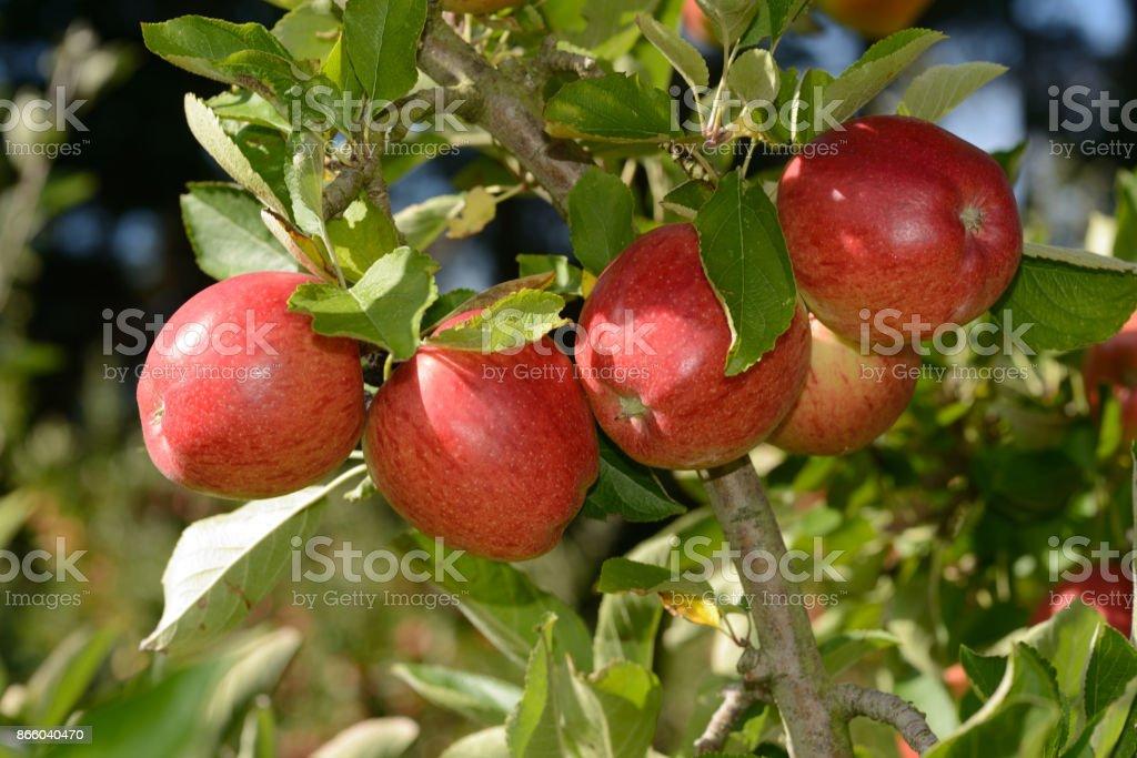 Braeburn apples stock photo