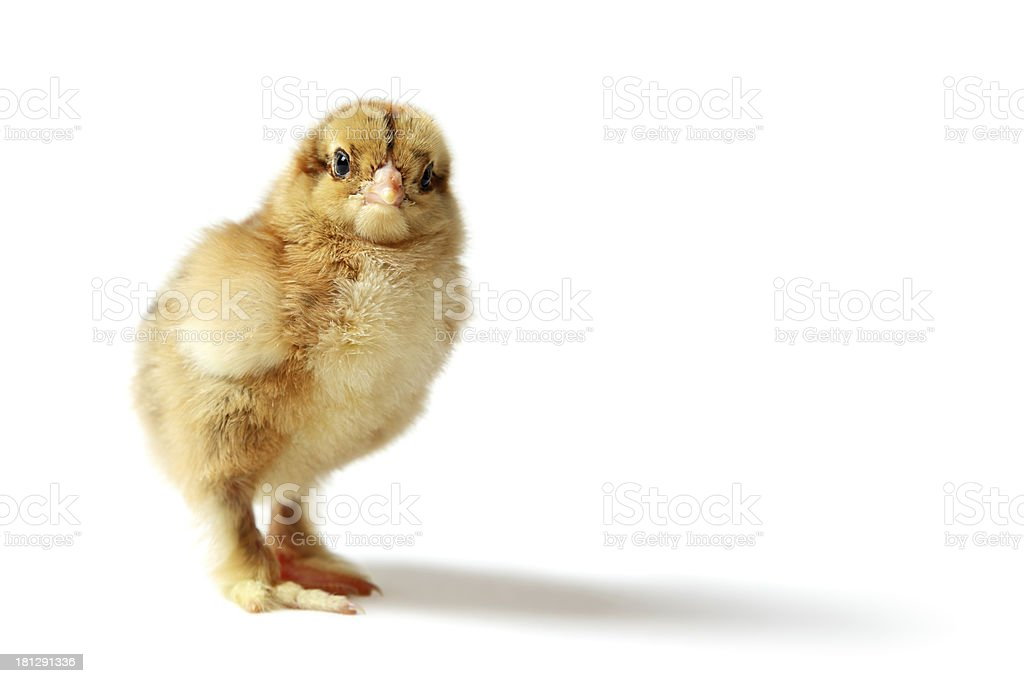 Brahma chick royalty-free stock photo