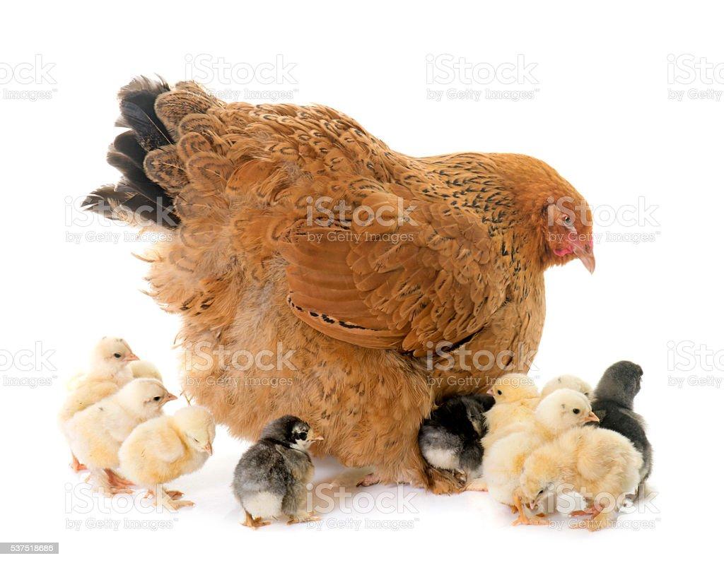 brahma chicken and chicks stock photo
