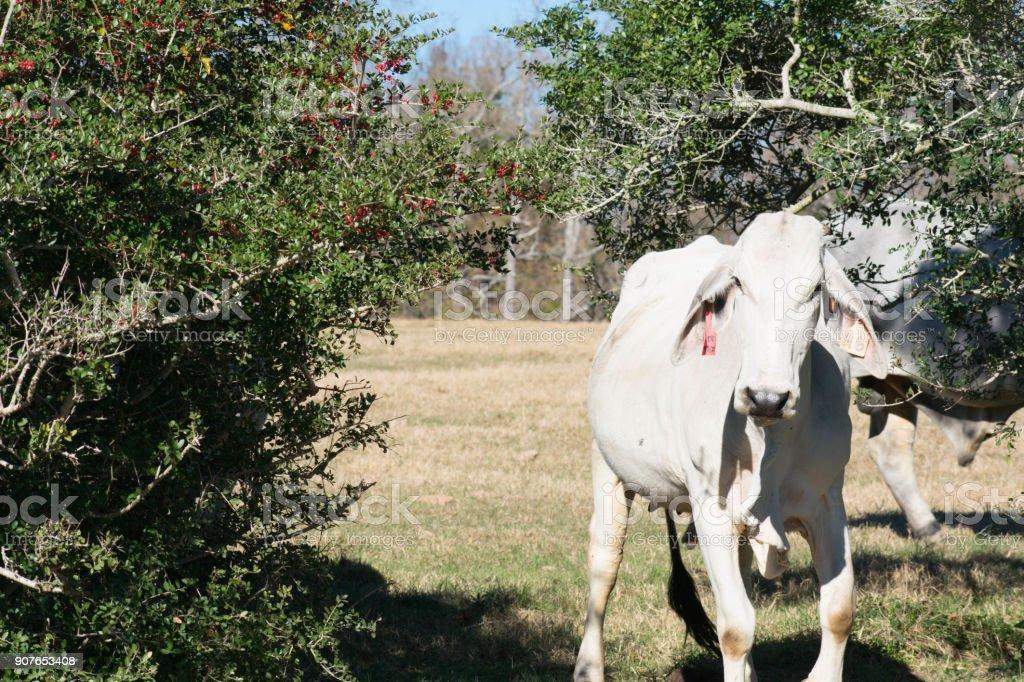 portrait of a Brahma cow