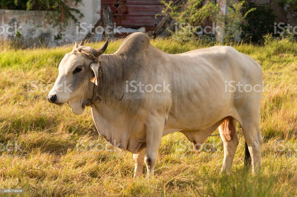 Brahman bull in Martinique, Caribean stock photo