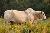 Ox Guzera was the first breed of Zebu cattle to arrive in Brazil.