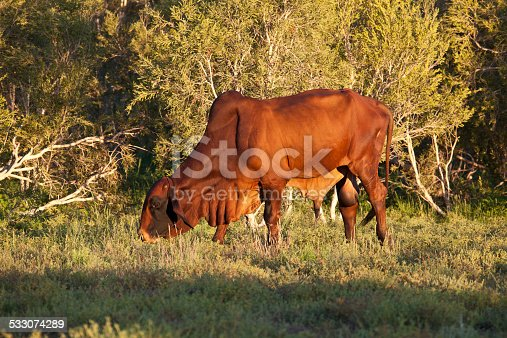 A Brahman Bull on a Australian property, evening
