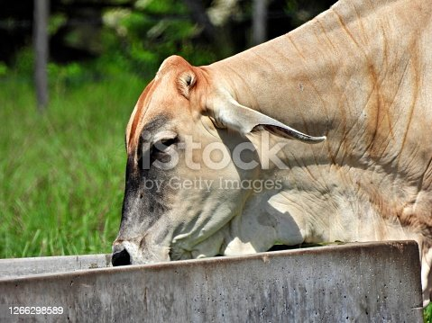 Brahman Cattle profile
