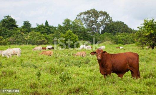 Brahman cattle in a paddock, Queensland, Australia.