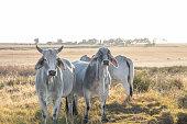 White Brahman cattle