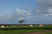 Nelore cattle in a pasture located in Brazil