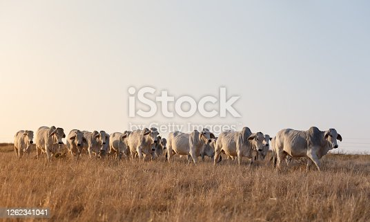 Brahman cattle walking in early morning light