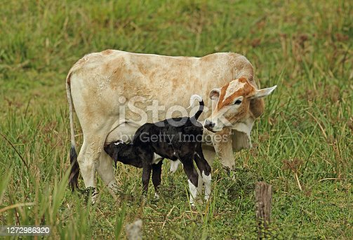 Brahman cow with calf suckling