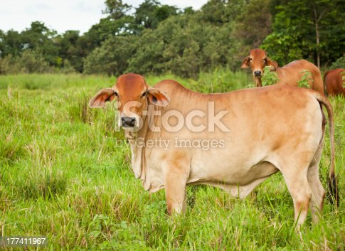 Brahman cattle in Queensland Australia