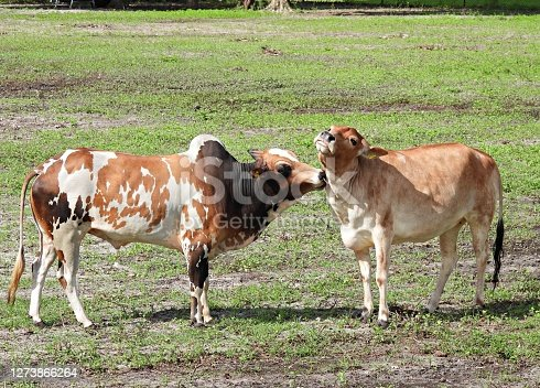Brahman cattle in a field