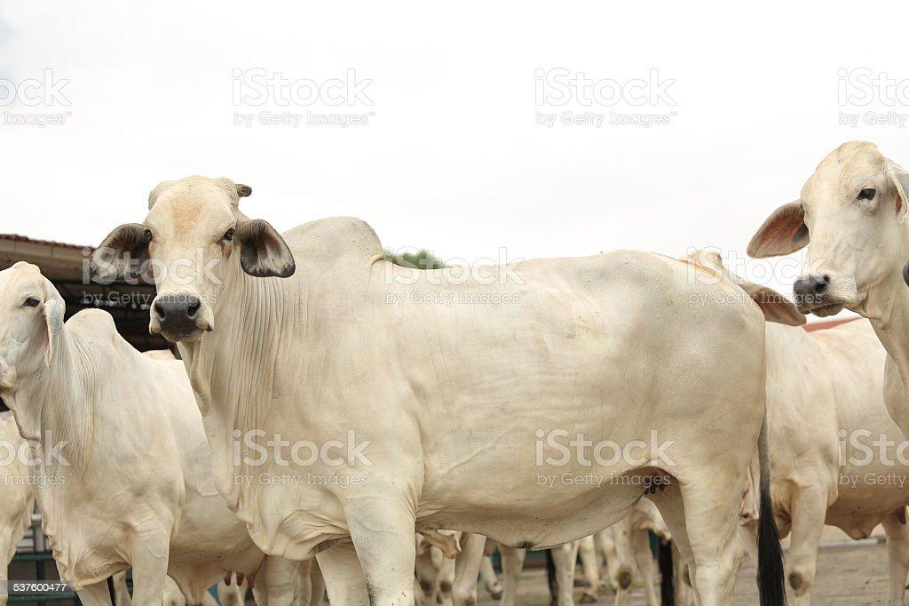 Brahman Cow stock photo
