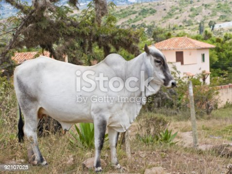 A Cow From Villa De Leyva, Colombia