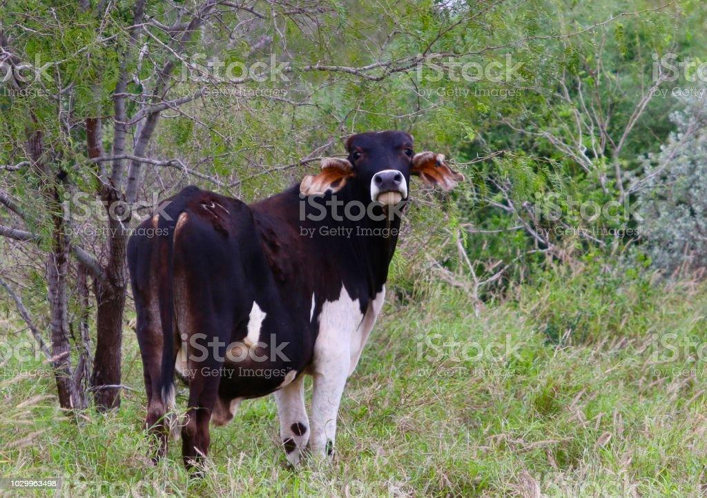 Brahman cross beef cattle. stock photo