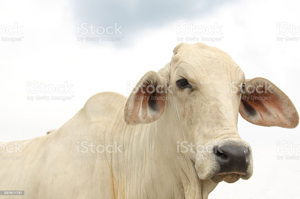 Brahman Head stock photo