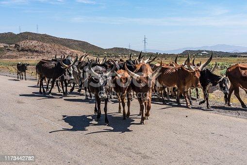 Brahman or Zebu bulls on the road to Gheralta in Tigray, Northern Ethiopia.