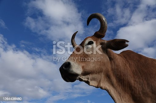 Brahman steer portrait with sky as background