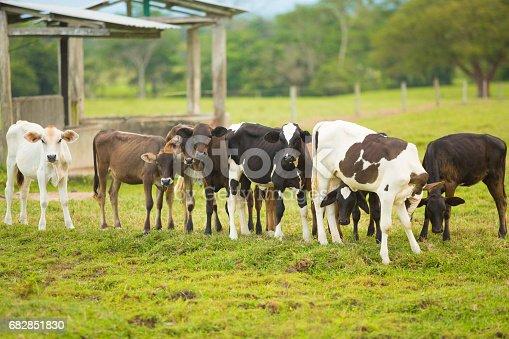Brahmans calves in herd at the Farm