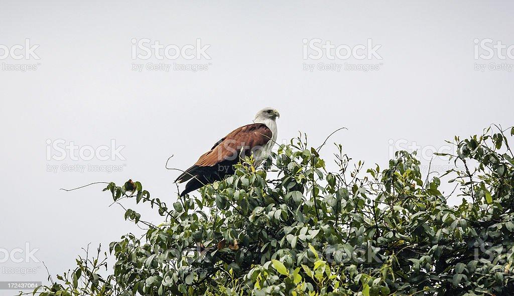 Brahminy Kite (Haliastur indus) aka Red-backed Sea-eagle in Australia royalty-free stock photo
