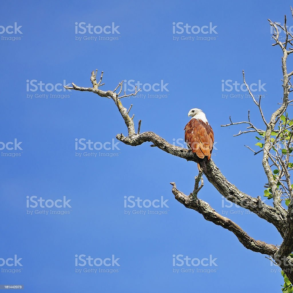Brahminy Kite royalty-free stock photo