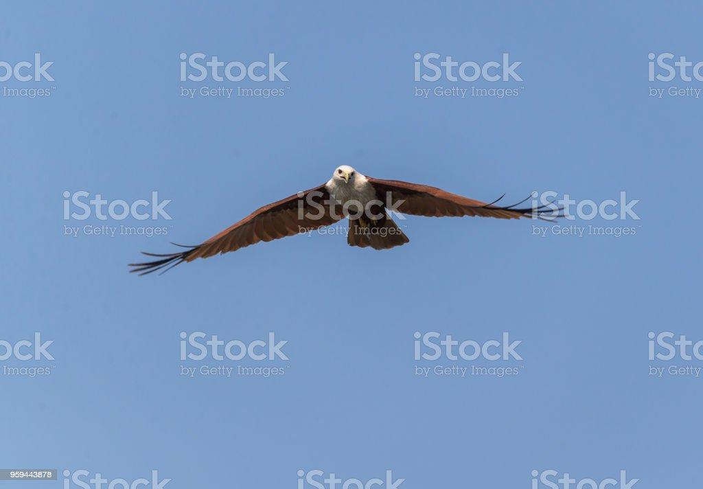 Brahminy Kite (haliastur indus) stock photo