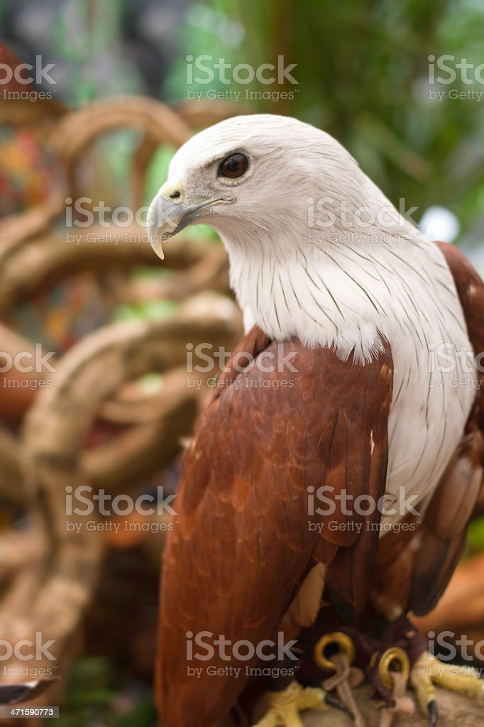 Brahminy Kite ,Red-backed Sea Eagle stand on the branch royalty-free stock photo