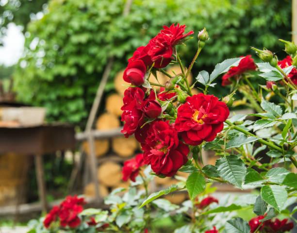 Braight red roses in a garden picture id1162142821?b=1&k=6&m=1162142821&s=612x612&w=0&h=ogyo8i8miabhq7vqsvttsv3 nduftylbcnns60bzms8=