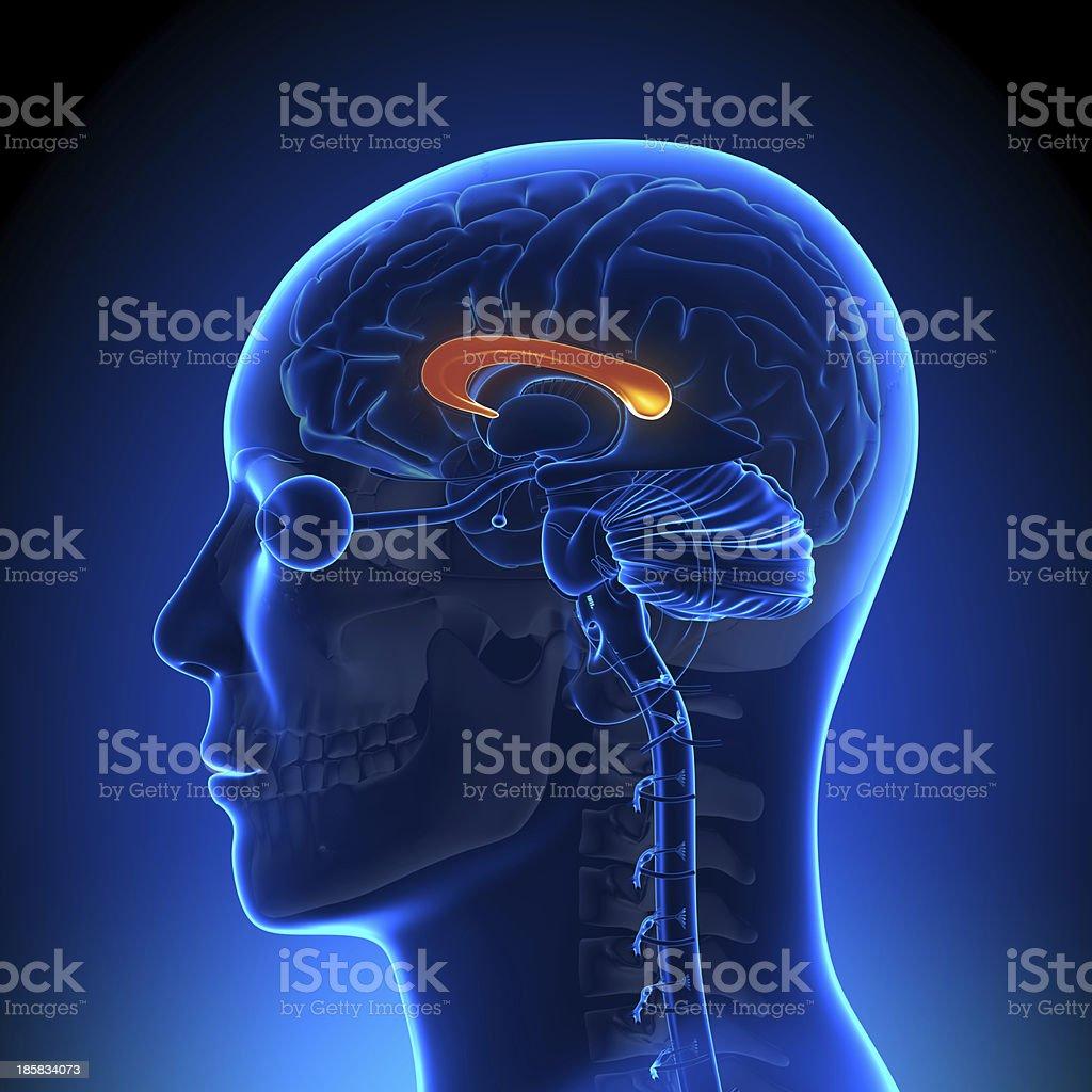 Gehirn Anatomiecorpus Callosum Stock-Fotografie und mehr Bilder von ...