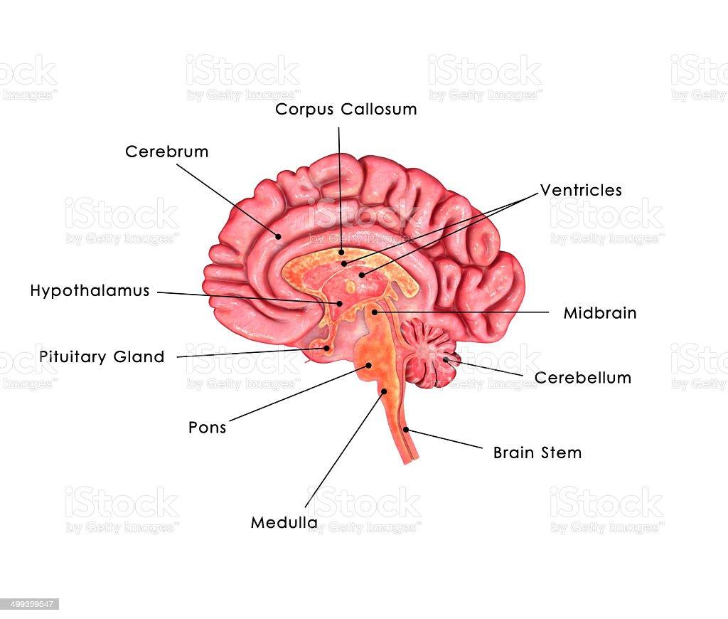 Brain anatomy labelled stock photo