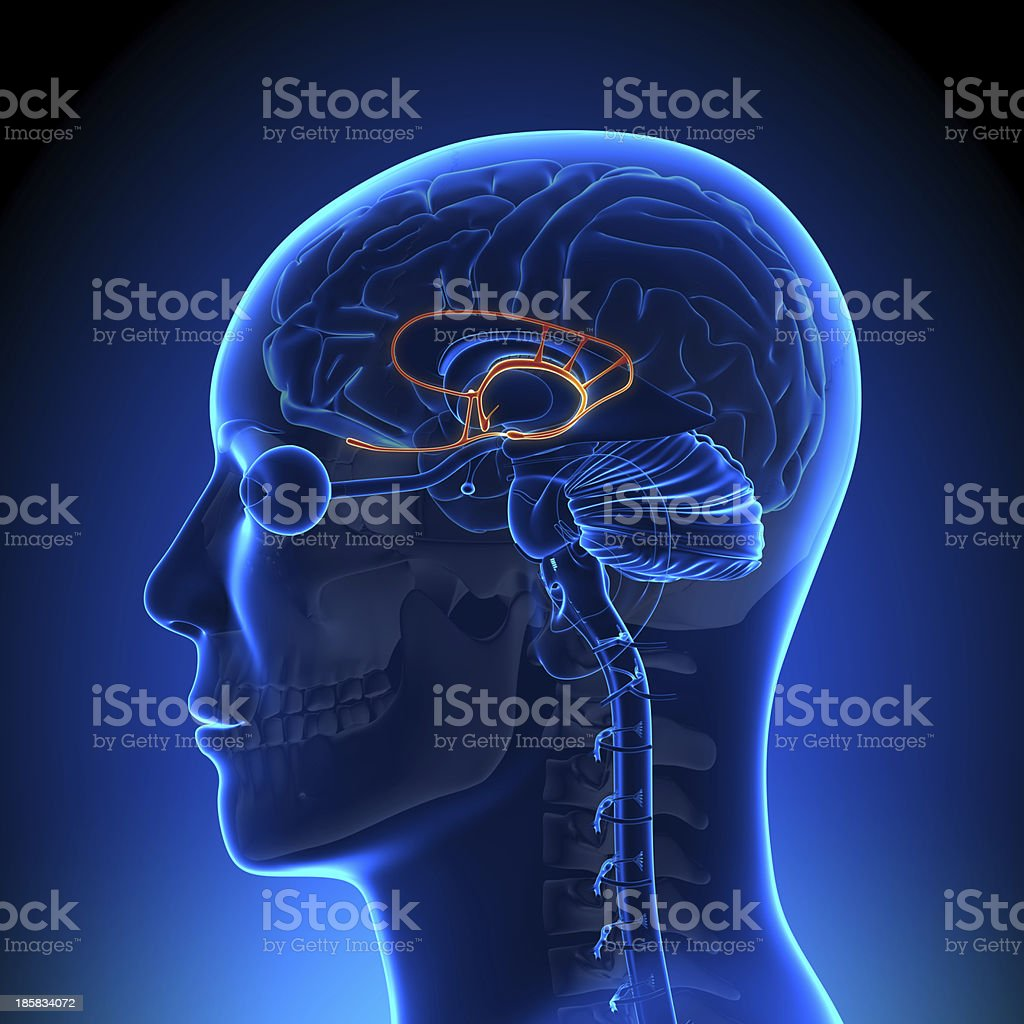 Brain Anatomy - Limbic System stock photo